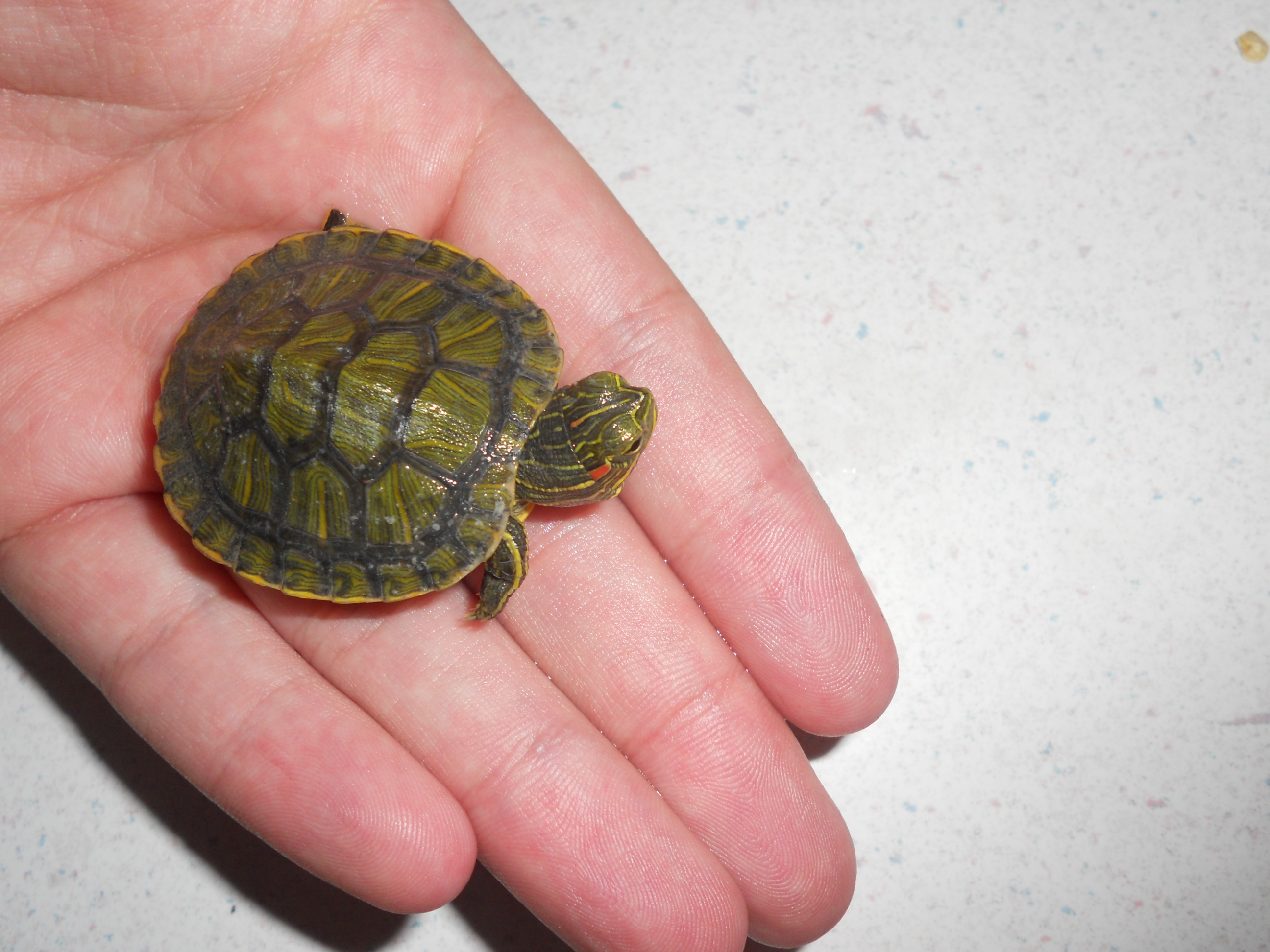Baby+Pet+Turtles This little guy doesn?t have a name yet, so I?ve ...