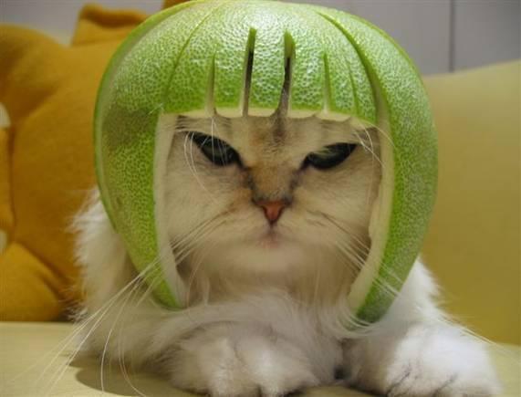 cat-helmet